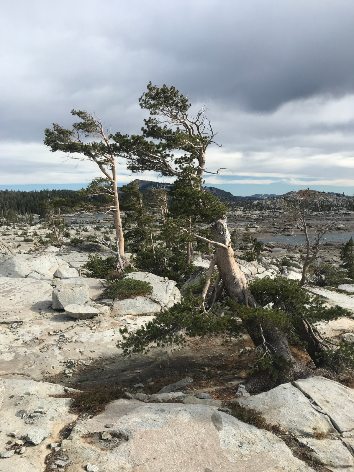 Image Description: Photo of several trees whose branches are permanently twisted from the wind, continuing to grow from solid grey rock against a cloudy background.