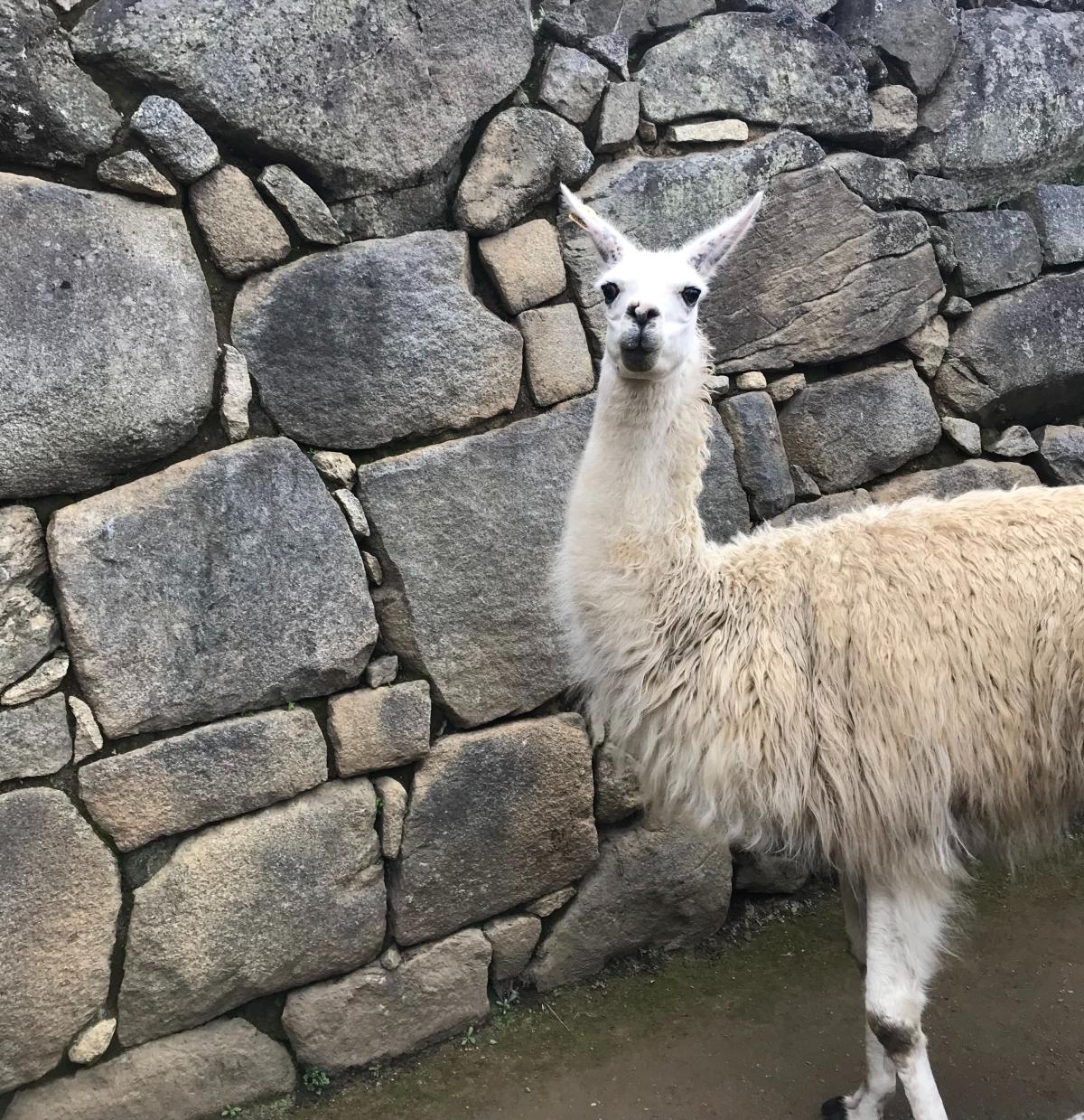Image Description: Photo of a white llama against a grey stone background at Machu Picchu