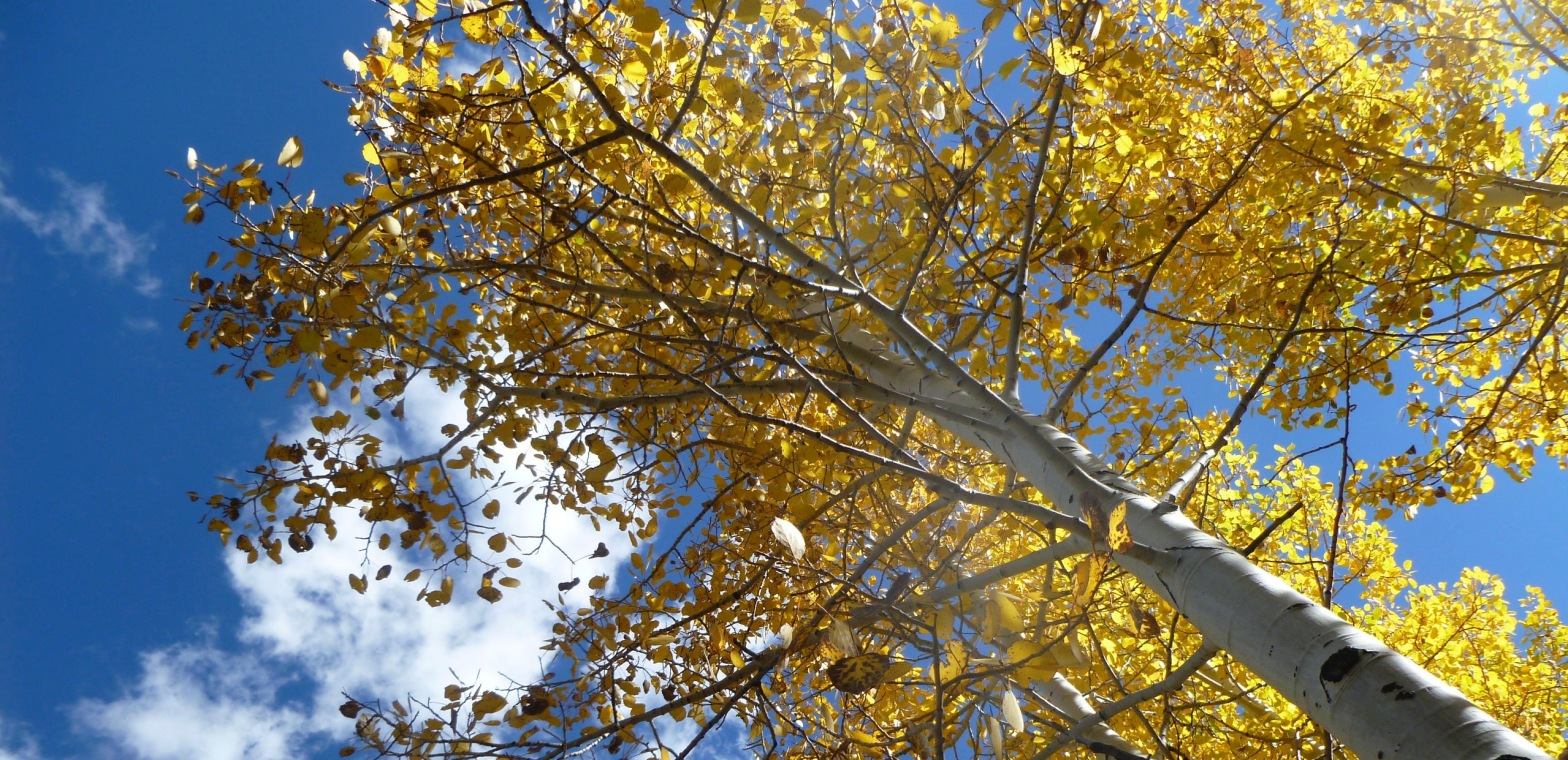 Image description: Yellow aspen leaves with blue sky in the background